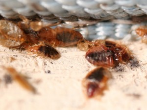 bed bug control beaumont